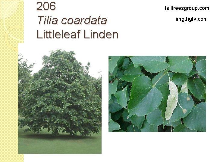 206 Tilia coardata Littleleaf Linden talltreesgroup. com img. hgtv. com