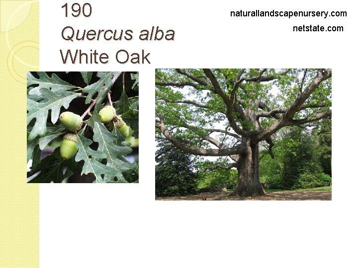 190 Quercus alba White Oak naturallandscapenursery. com netstate. com