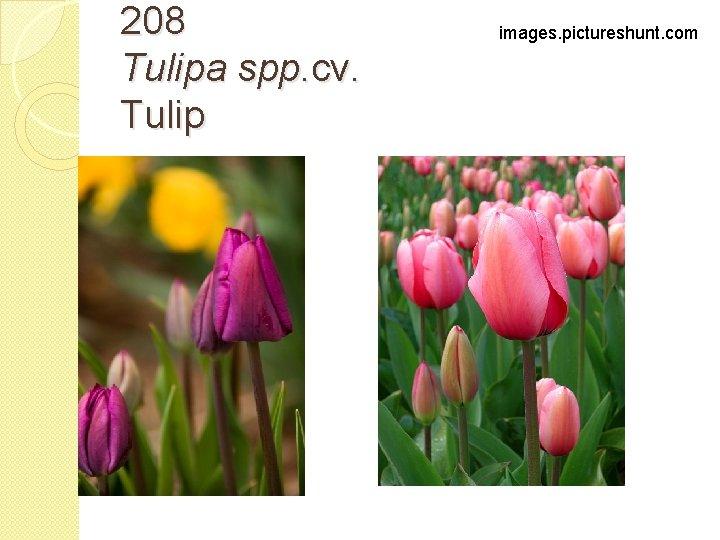 208 Tulipa spp. cv. Tulip images. pictureshunt. com