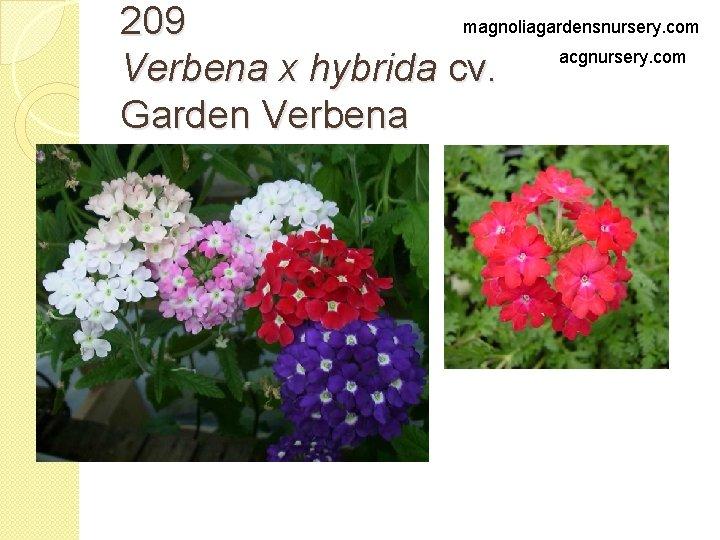 magnoliagardensnursery. com 209 acgnursery. com Verbena x hybrida cv. Garden Verbena