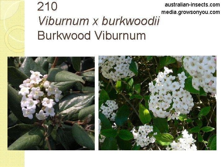australian-insects. com 210 media. growsonyou. com Viburnum x burkwoodii Burkwood Viburnum
