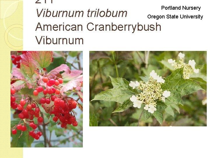 211 Portland Nursery Viburnum trilobum Oregon State University American Cranberrybush Viburnum