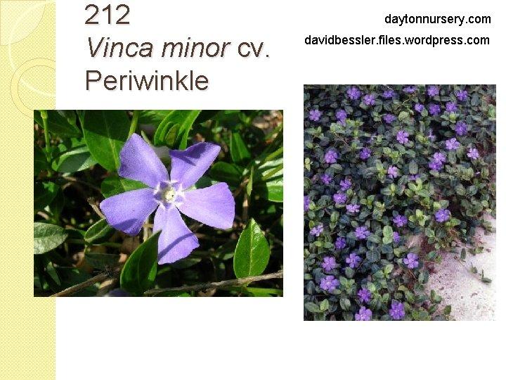 212 Vinca minor cv. Periwinkle daytonnursery. com davidbessler. files. wordpress. com