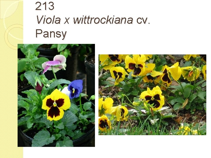 213 Viola x wittrockiana cv. Pansy