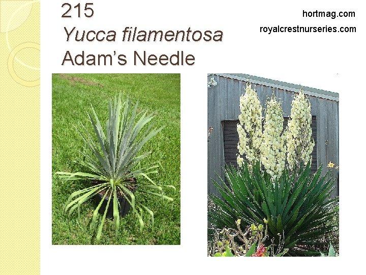 215 Yucca filamentosa Adam's Needle hortmag. com royalcrestnurseries. com