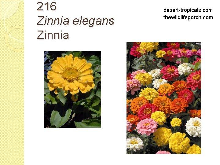 216 Zinnia elegans Zinnia desert-tropicals. com thewildlifeporch. com