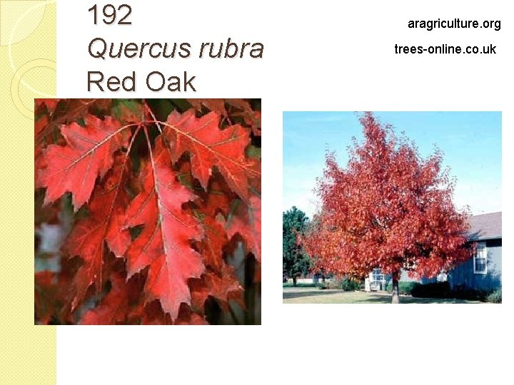 192 Quercus rubra Red Oak aragriculture. org trees-online. co. uk