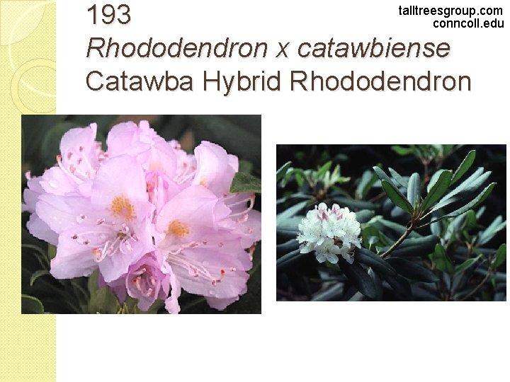 talltreesgroup. com 193 conncoll. edu Rhododendron x catawbiense Catawba Hybrid Rhododendron