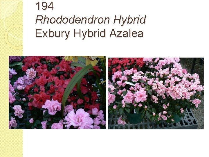 194 Rhododendron Hybrid Exbury Hybrid Azalea