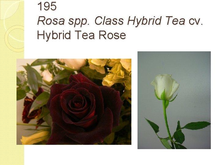 195 Rosa spp. Class Hybrid Tea cv. Hybrid Tea Rose