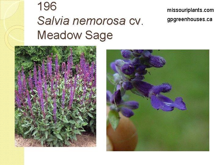 196 Salvia nemorosa cv. Meadow Sage missouriplants. com gpgreenhouses. ca