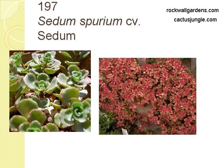 197 Sedum spurium cv. Sedum rockwallgardens. com cactusjungle. com