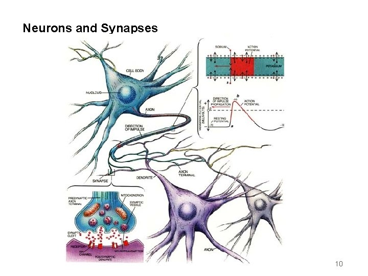 Neurons and Synapses 10