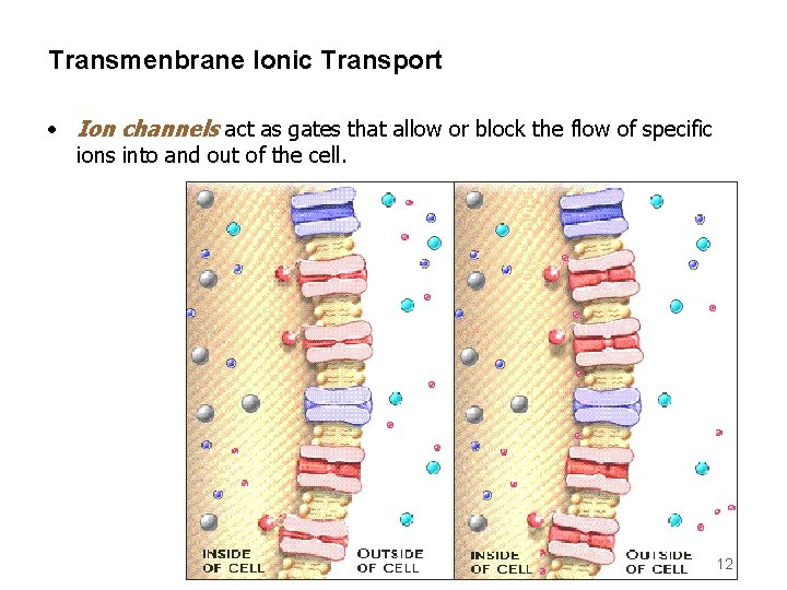 Transmenbrane Ionic Transport • Ion channels act as gates that allow or block the