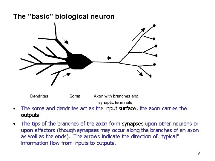 """The """"basic"""" biological neuron • The soma and dendrites act as the input surface;"""