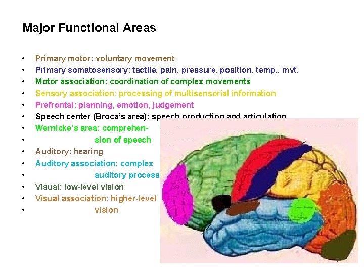 Major Functional Areas • • • • Primary motor: voluntary movement Primary somatosensory: tactile,