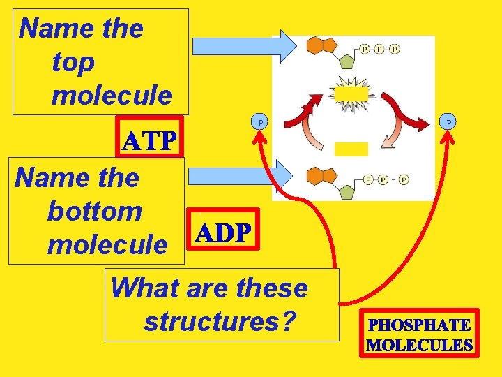 Name the top molecule P Name the bottom molecule What are these structures? P