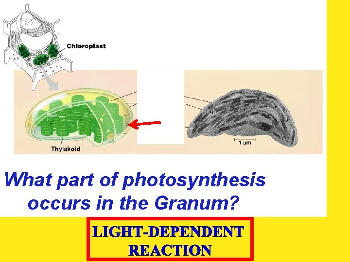What part of photosynthesis occurs in the Granum?