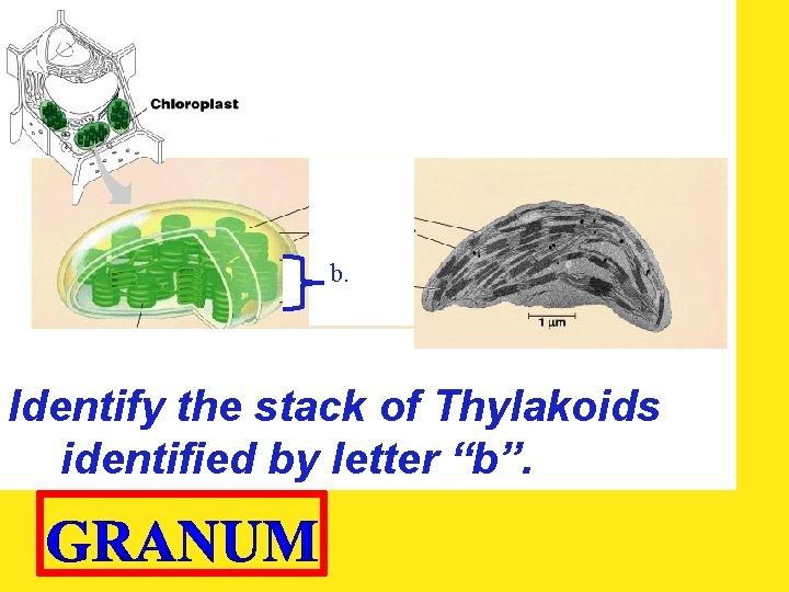 "b. Identify the stack of Thylakoids identified by letter ""b""."
