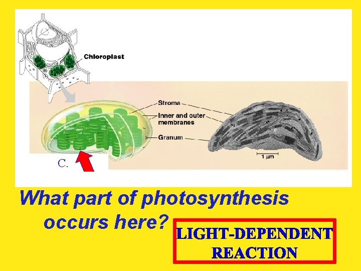 C. What part of photosynthesis occurs here?