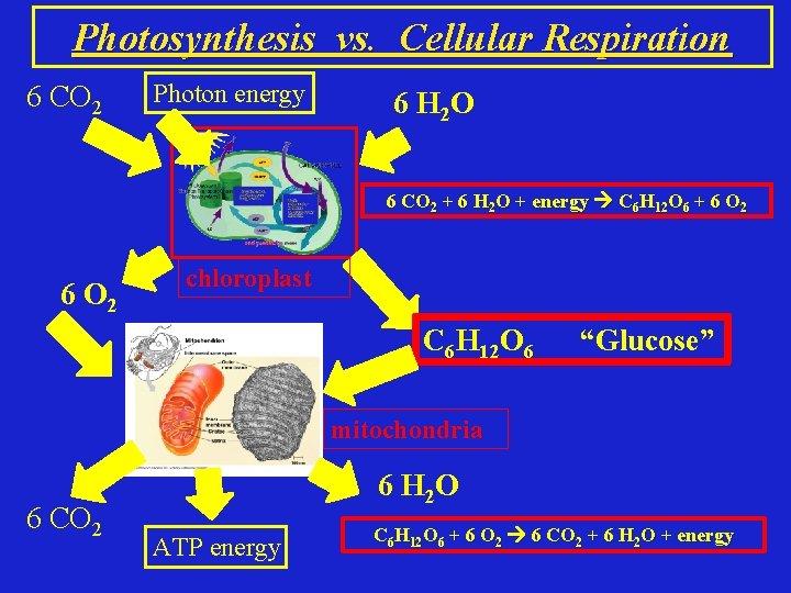Photosynthesis vs. Cellular Respiration 6 CO 2 Photon energy 6 H 2 O 6