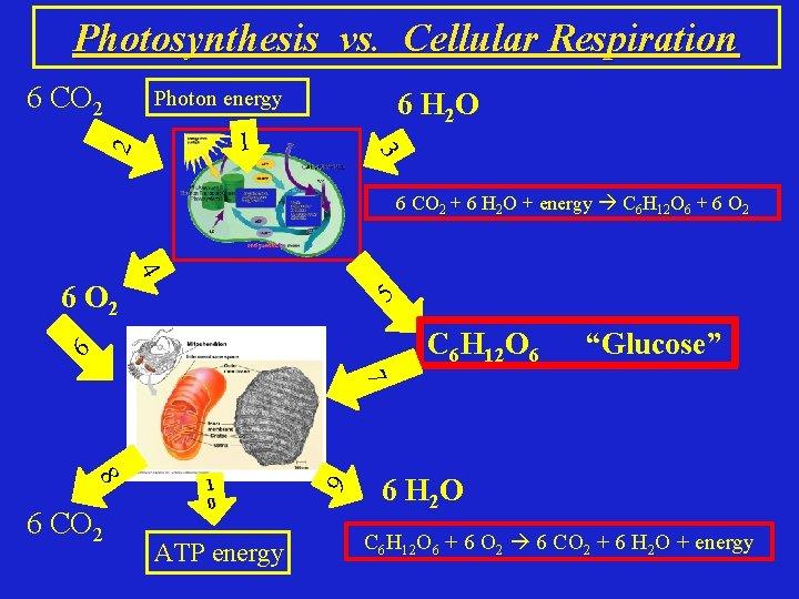 Photosynthesis vs. Cellular Respiration Photon energy 6 H 2 O 3 1 2 6
