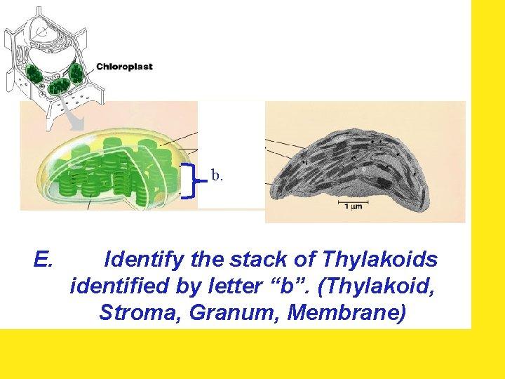"""b. E. Identify the stack of Thylakoids identified by letter """"b"""". (Thylakoid, Stroma, Granum,"""
