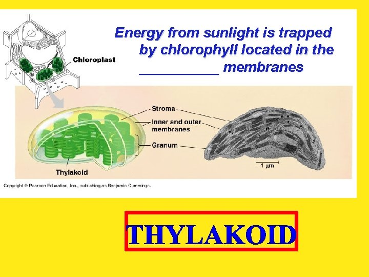 Energy from sunlight is trapped by chlorophyll located in the _____ membranes