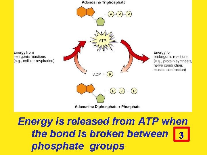 Energy is released from ATP when the bond is broken between phosphate groups