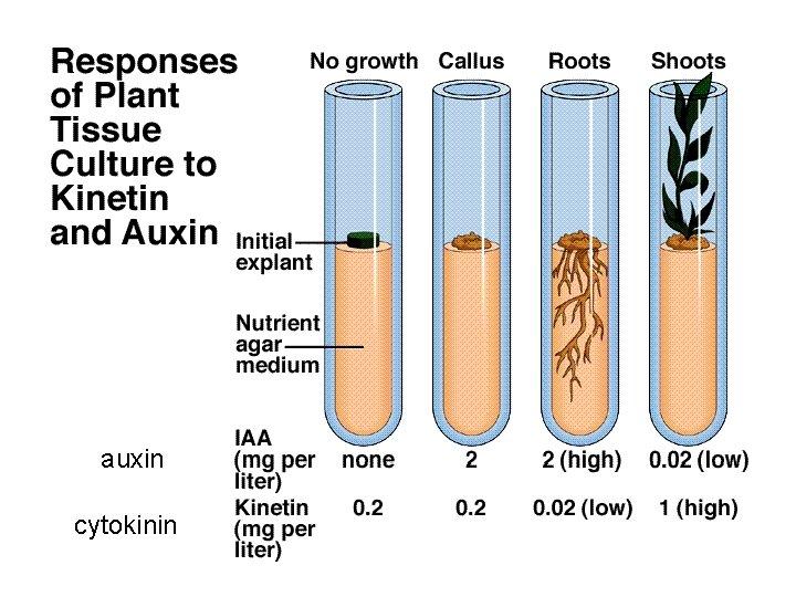auxin cytokinin