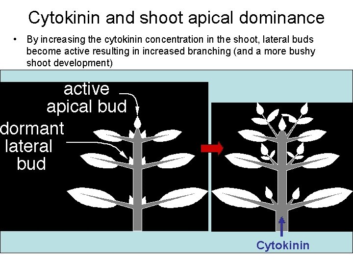 Cytokinin and shoot apical dominance • By increasing the cytokinin concentration in the shoot,