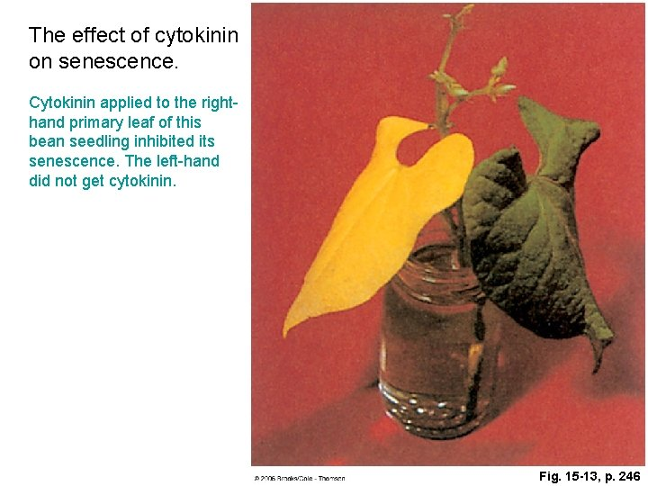 The effect of cytokinin on senescence. Cytokinin applied to the righthand primary leaf of