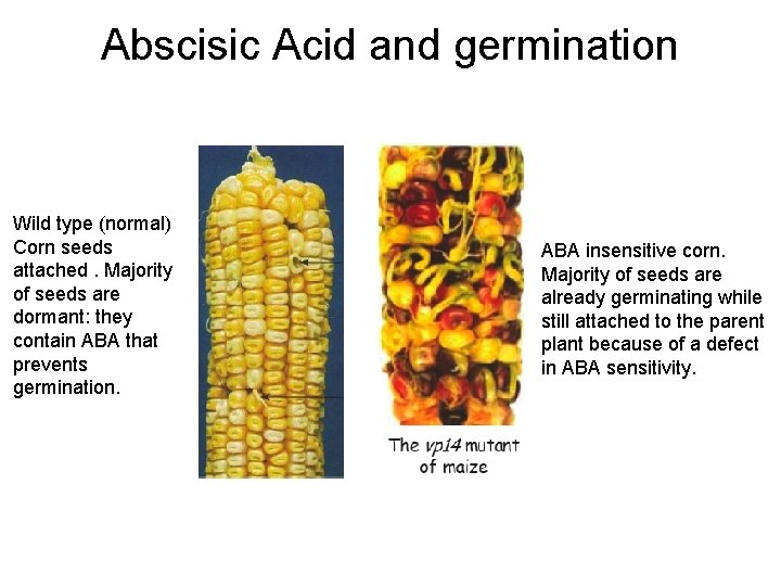 Abscisic Acid and germination Wild type (normal) Corn seeds attached. Majority of seeds are