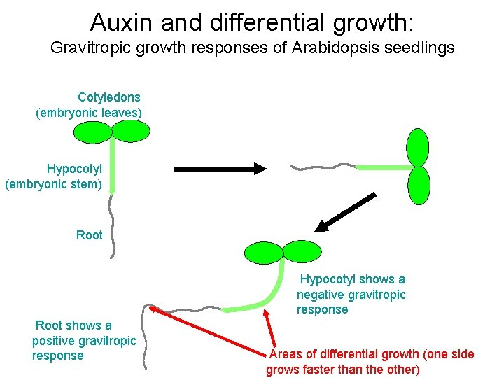 Auxin and differential growth: Gravitropic growth responses of Arabidopsis seedlings Cotyledons (embryonic leaves) Turn