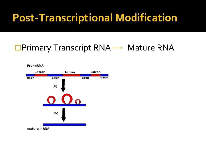 Post-Transcriptional Modification �Primary Transcript RNA Mature RNA