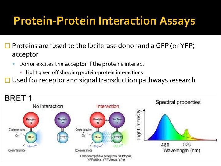 Protein-Protein Interaction Assays � Proteins are fused to the luciferase donor and a GFP