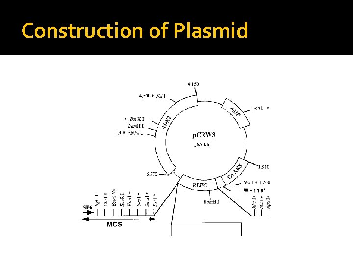 Construction of Plasmid