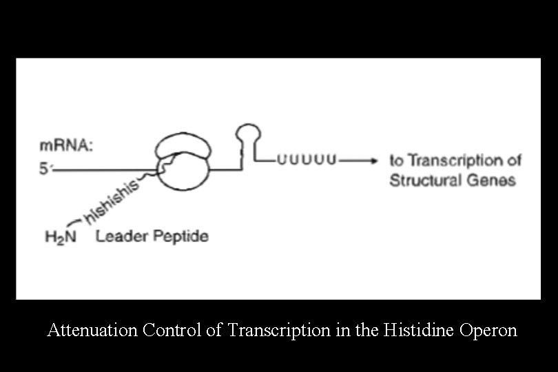 Attenuation Control of Transcription in the Histidine Operon