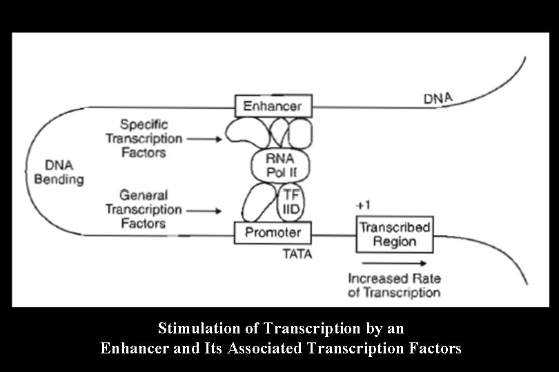 Stimulation of Transcription by an Enhancer and Its Associated Transcription Factors