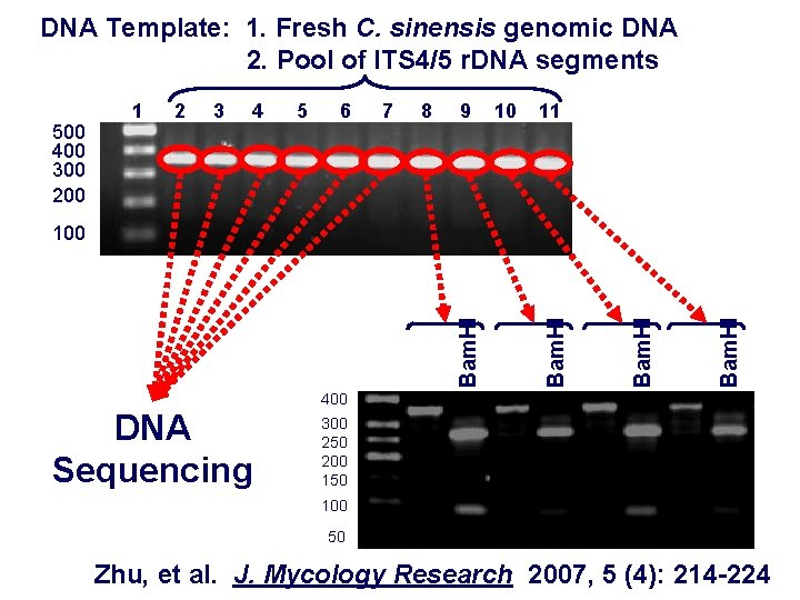 DNA Template: 1. Fresh C. sinensis genomic DNA 2. Pool of ITS 4/5 r.