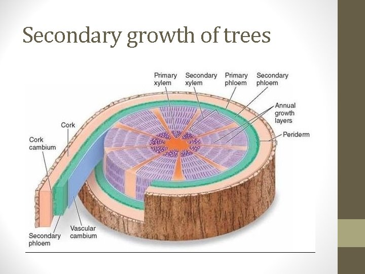 Secondary growth of trees