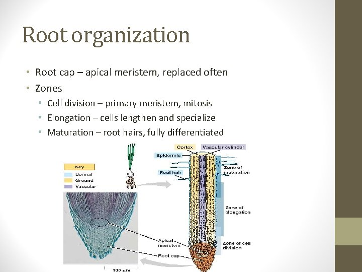 Root organization • Root cap – apical meristem, replaced often • Zones • Cell