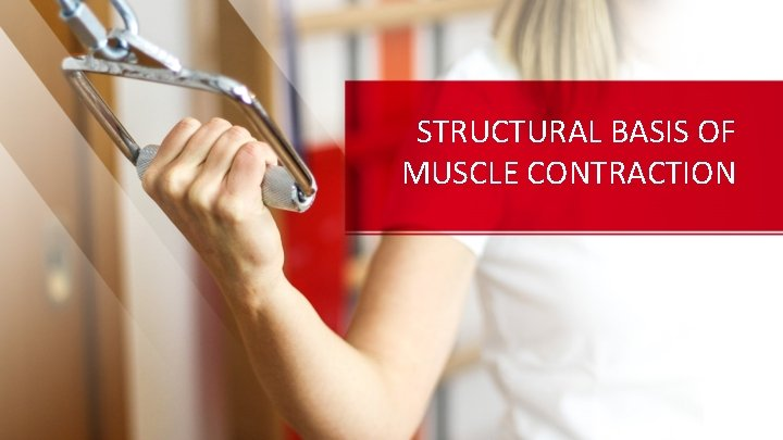 STRUCTURAL BASIS OF MUSCLE CONTRACTION