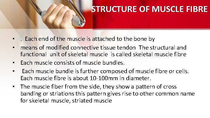 STRUCTURE OF MUSCLE FIBRE • . Each end of the muscle is attached to