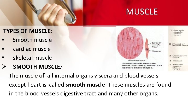 MUSCLE TYPES OF MUSCLE: § Smooth muscle § cardiac muscle § skeletal muscle Ø