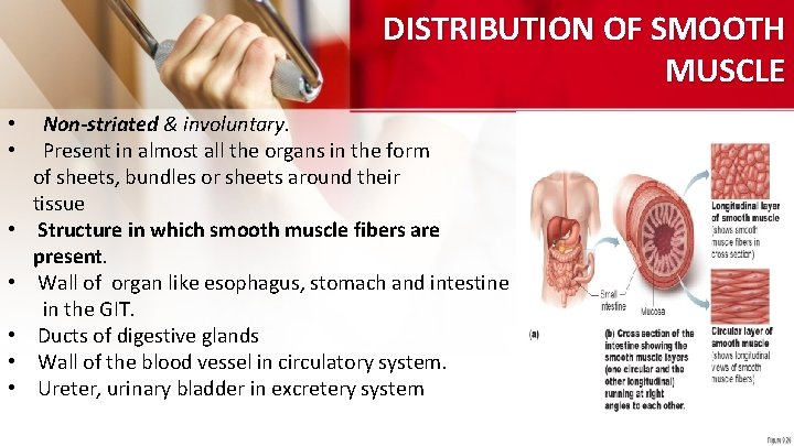 DISTRIBUTION OF SMOOTH MUSCLE • • Non-striated & involuntary. Present in almost all the