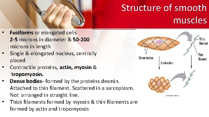 Structure of smooth muscles • Fusiforms or elongated cells 2 -5 microns in diameter