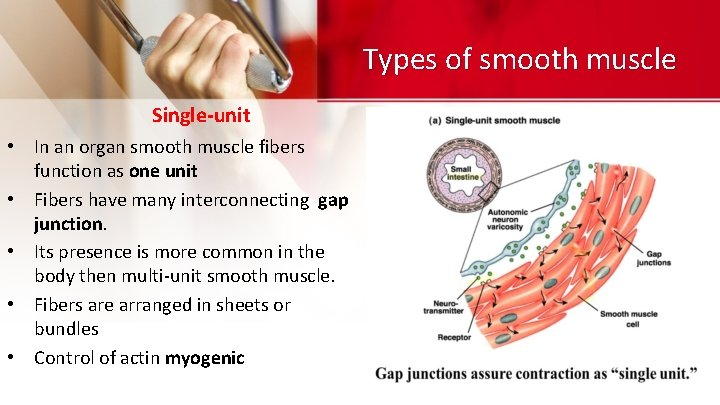 Types of smooth muscle Single-unit • In an organ smooth muscle fibers function as