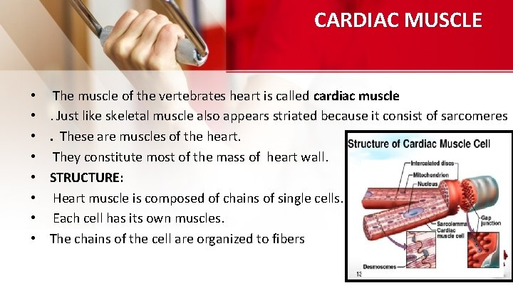 CARDIAC MUSCLE • • The muscle of the vertebrates heart is called cardiac muscle.