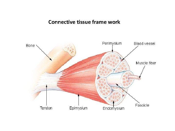 Connective tissue frame work